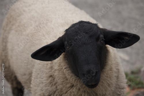 Portrait of a suffolk ram Fototapeta