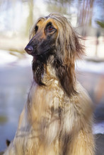 The Portrait Of An Afghan Hound Posing Outdoors In Spring City Park