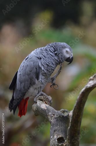 Tuinposter Papegaai perroquet gris