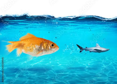 Fotomural Big goldfish attacks a scared shark in the ocean