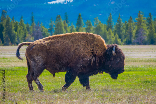 Foto op Aluminium Bison Bison grazing the pasture in the Yellowstone national park, Wyoming