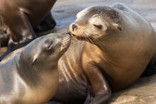 Photograph Of Two Seals Who Appear To Be Kissing