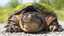 Close-up Portrait Of A Snapping Turtle Making Eye Contact