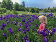 Little Girl Standing In A Field Of Purple Irises