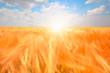 Beautiful landscape of golden dry wheat field ready for harvest growing in a farm field