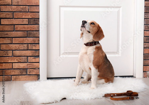Photo  Cute Beagle dog sitting and leash on floor near door