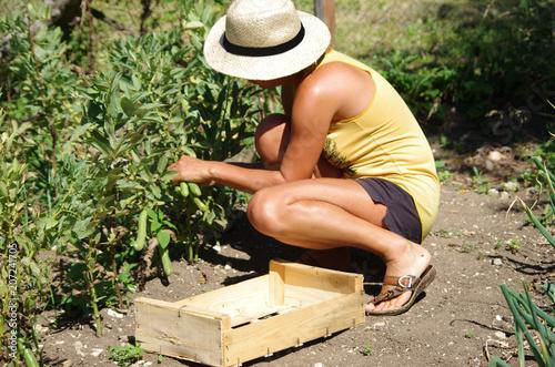 Fotografie, Obraz  jardin potager - récolte de fèves