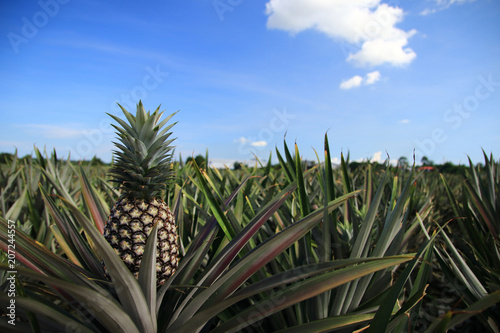 pineapple agricultural on sunlight background