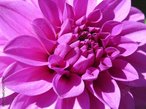In de dag Dahlia Pink Dahlia flower, close-up. Beautiful floral background
