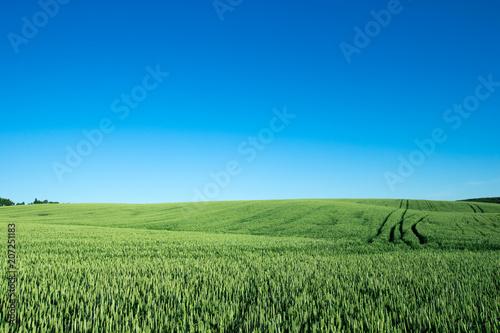 Fotobehang Platteland field of green grass on a background sky