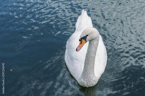Foto op Plexiglas Zwaan One swan on the water.