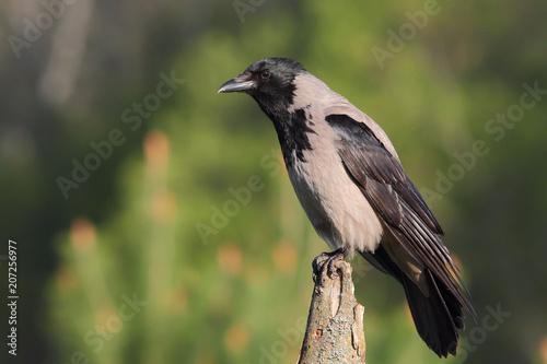 Fotografía  Hooded crow. Corvus cornix.