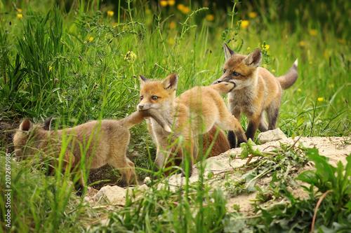 playful red fox cubs Fototapet