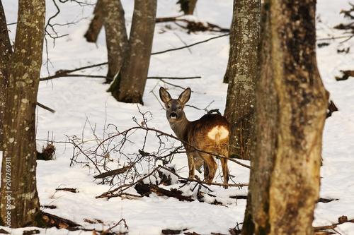 Fotobehang Ree roe deer in winter natural habitat