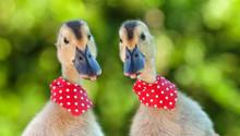 Two Cute Ducklings Looking Cur...