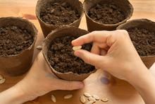 Hands Of Gardener Planting Seeds In The Peat Pot