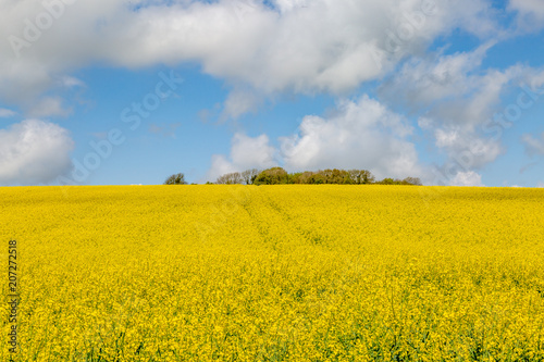 Foto op Aluminium Oranje A Field of Vivid Yellow Canola/Rapeseed Crops in Sussex