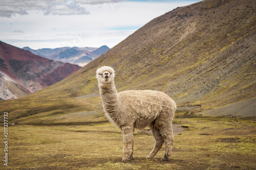 Recess Fitting Lama A lonely llama is standing on the plateau in the wild - Peru