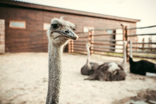 Closeup View Of Ostrich Muzzle...