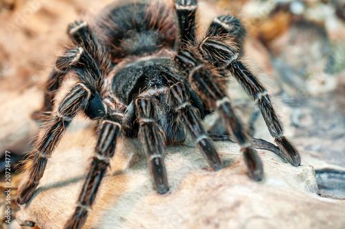 black live tarantua (spider)