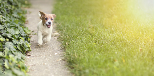 Happy Jack Russell Terrier Puppy Dog Running To The Camera Buy