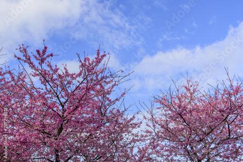 Poster Light pink Beautiful sakura flower (cherry blossom) in spring. sakura tree flower on blue sky.