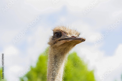 Fotobehang Struisvogel Ostrich walk on the ground at the farm