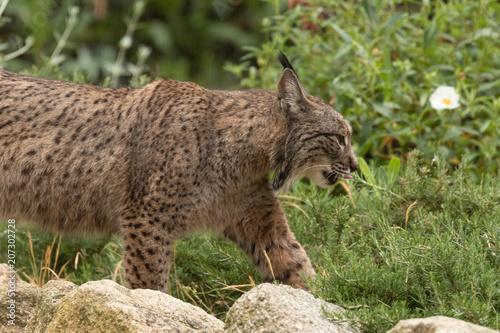 Iberian Lynx portrait