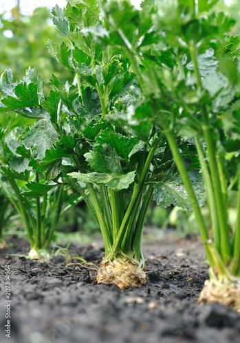 close-up of celery plantation (root vegetable) in the vegetable garden,after the watering, vertical composition