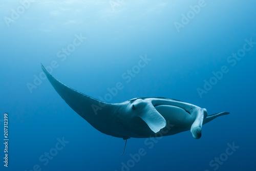 Obraz na plátně Manta ray flying by in cristal blue water
