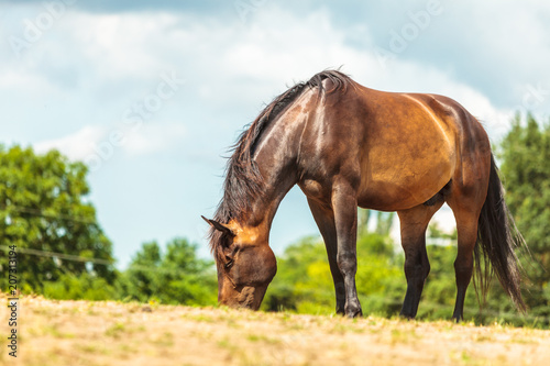Fototapeta Brown wild horse on meadow idyllic field obraz