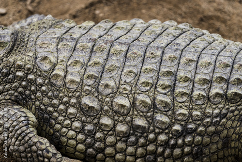 Crocodile skin close up texture.
