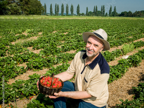 Man picking  ripe srawberries on the strawberrry plantation on a sunny summer day