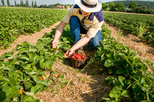 Man Picking  Ripe Srawberries ...