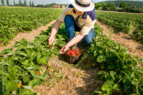 Leinwand Poster Man picking  ripe srawberries on the strawberrry plantation on a sunny summer da