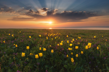 Sunset over the sea with a large field of wild yellow tulips in the foreground