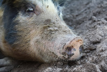 Big Dirty Pig