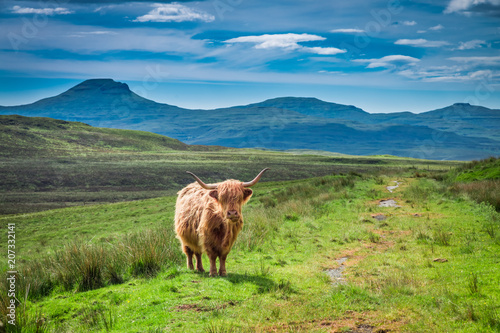 Spoed Fotobehang Schotse Hooglander Brown highland cow and green field, Scotland