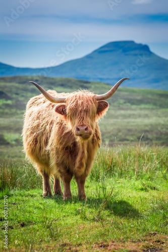 Spoed Fotobehang Schotse Hooglander Green field and brown cow in Scotland, United Kingdom