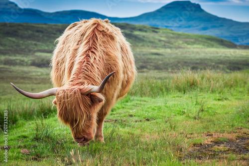 Spoed Fotobehang Schotse Hooglander Grazing highland cow on green field, Scotland