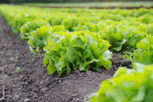 Foto  Verschiedenen Blattsalate auf dem Feld, Ackerbau