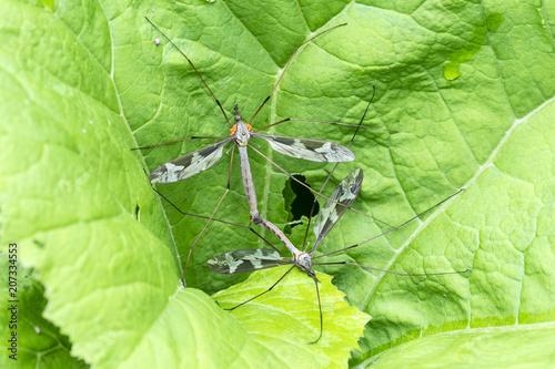 Two Craneflies (probably Tipula Maxima) in Copula, one infested with orange mites
