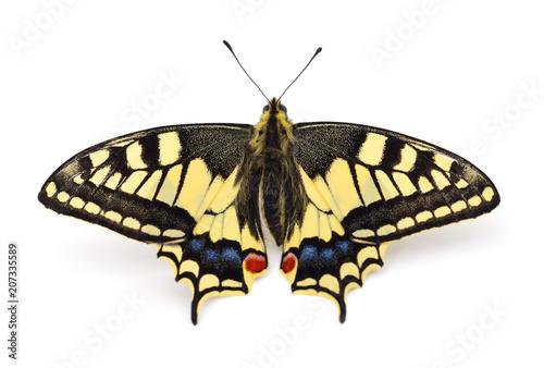 Fototapeta Old World Swallowtail (Papilio machaon) butterfly.