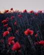 field of red flanders poppy, corn poppy flowers.