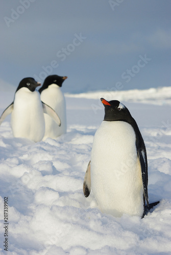 Gentoo Penguin standing in the snow and next two adelie penguins in the winter