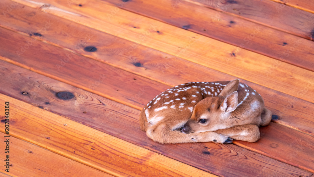 Small Deer Fawn Resting on Wood Deck off centered