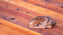 Small Deer Fawn Resting On Woo...