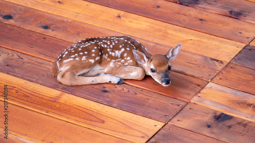 Small Deer Fawn looking Resting On Man Made Wood Deck