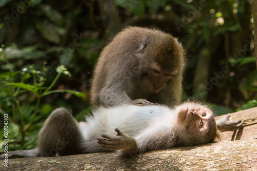 Foto op Canvas Aap Monkeys at the Sacred Monkey Forest Sanctuary in Ubud, Bali