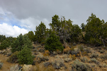 Pine Trees And Pine Cones On The Mountainsides Of The White Mountains Leading Up To The Ten Thousand Foot Elevation